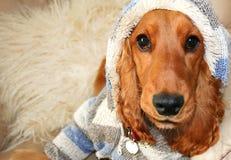 态度hoodie西班牙猎狗 免版税库存照片