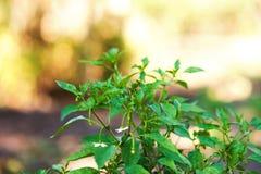 怎么在夏天增长并且开花胡椒灌木 幼木胡椒,从事园艺,种田 自然质地花卉背景 免版税库存照片