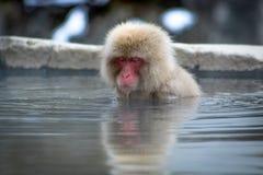 思考的猴子在温泉 免版税库存照片