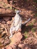 思考的环纹尾的狐猴 免版税库存照片
