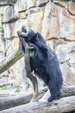 怠惰亚洲熊在动物园里,柏林 库存照片