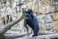 怠惰亚洲熊在动物园里,柏林 免版税库存图片