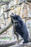 怠惰亚洲熊在动物园里,柏林 免版税库存照片