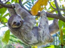 怠惰在哥斯达黎加 免版税图库摄影