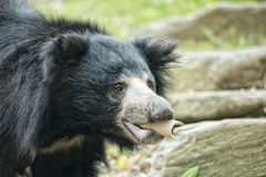 怠惰黑亚洲熊 免版税图库摄影