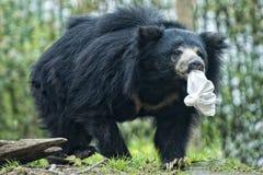 怠惰黑亚洲熊 库存照片