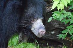 怠惰bear2 库存照片