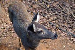 急切地正在寻找某人的鹿 免版税图库摄影