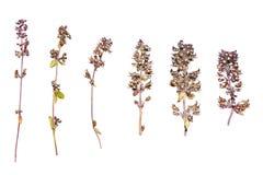紧急电报花 蓝色花干燥标本集  干草本 通配花的春天 库存照片