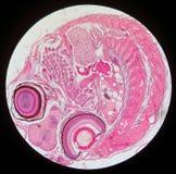 性腺和胚胎 免版税库存图片