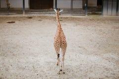 总图,一头幼小非洲长颈鹿横跨疆土徒步走到在多云天气察觉的照相机冷的季节 免版税库存图片
