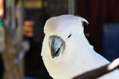 总是在云南的白色鹦鹉 库存照片