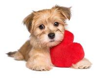 恋人华伦泰说谎与红色心脏的Havanese小狗 免版税库存照片