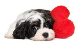 恋人华伦泰Havanese与红色心脏的小狗 库存图片