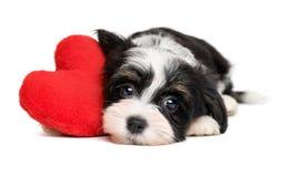 恋人华伦泰Havanese与红色心脏的小狗 免版税库存图片