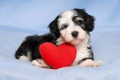 恋人华伦泰Havanese小狗在一条蓝色毯子说谎 免版税图库摄影
