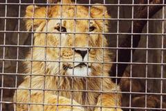 恐吓的红色威胁重要狮子 免版税库存图片