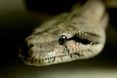 恐惧蛇的眼睛 免版税库存图片