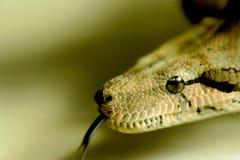 恐惧蛇舌头的眼睛 免版税库存图片