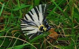 恐慌swallowtail 库存照片