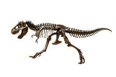 恐龙暴龙雷克斯的化石骨骼 免版税图库摄影