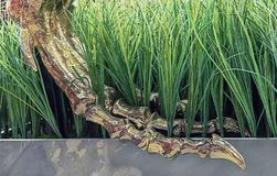 恐龙爪子最基本的金子镀了 恐龙的爪子在绿草的 图库摄影