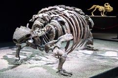 恐龙骨骼-篮尾龙 图库摄影
