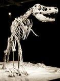 恐龙骨骼 图库摄影