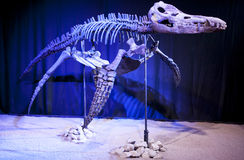 恐龙骨骼- Liopleurodon 免版税库存照片