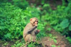 恒河猴 免版税库存图片