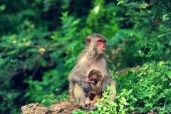 恒河猴 免版税库存照片