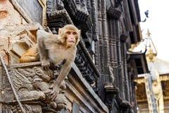 恒河猴坐墙壁 库存照片