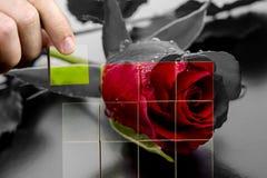 恢复一朵红色玫瑰的秀丽 库存照片