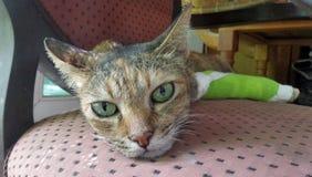 恢复猫的断腿愉快地和quiletly休息 库存图片