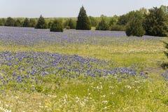 恩尼斯得克萨斯在农场的矢车菊领域 图库摄影