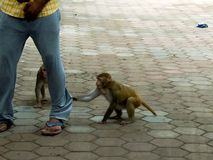 恶作剧猴子在人和拉扯他们的裤子之后 免版税库存照片