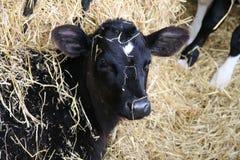 恶作剧的小牛 免版税库存图片