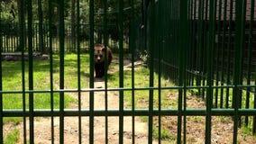 恶劣的动物棕熊熊属类arctos在动物园笼子走在热的夏日 影视素材