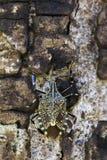 恶臭臭虫在树的Erthesina fullo的图象 昆虫 敌意 库存照片