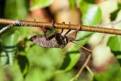 恶臭臭虫(古铜色橙色臭虫)在桦树分支 库存图片