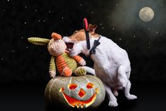 恶魔淘气夜概念用作为吸血鬼的狗尖酸的兔子 免版税库存图片