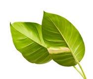 恶魔` s常春藤,金黄pothos,常绿藤本植物aureum,与在白色背景隔绝的大叶子的心形的叶子藤 图库摄影