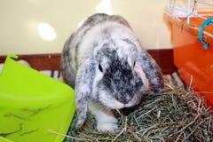 恼怒的兔子 免版税库存照片