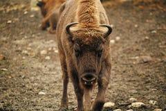恼怒的北美野牛 库存照片