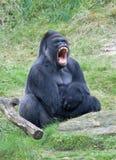 恼怒的大猩猩 免版税库存图片