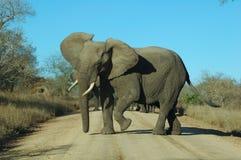 恼怒的大象 免版税图库摄影