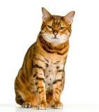 恼怒的孟加拉逗人喜爱的小猫查找 库存图片