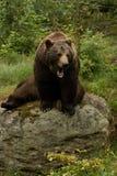 恼怒的棕熊坐一个岩石在森林里 免版税库存图片