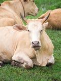 恼怒的棕色母牛 免版税库存照片
