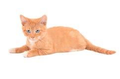 恼怒的橙色小猫 库存照片